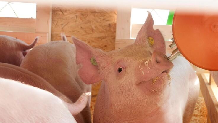 Den kinesiske bestand af grise halveres