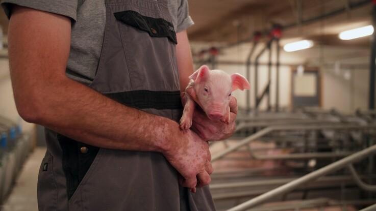 Sunde søer giver sunde grise