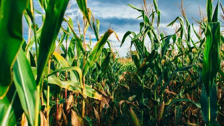 I hjertet af USA's kornkammer