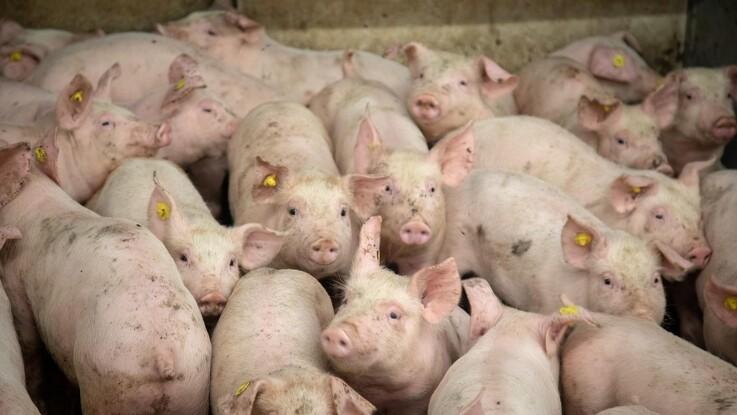 Fortsat færre svin i Tyskland