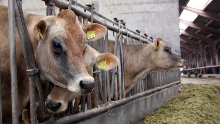Fasefodring af goldkøer giver bedre opstart af nykælvere