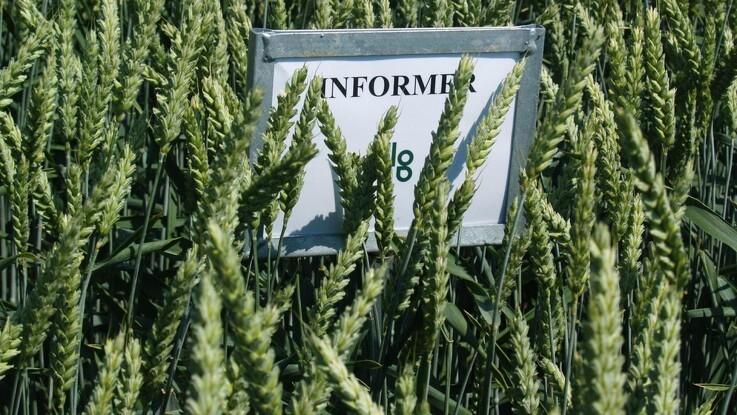 Overvej sortsblandinger i hveden og andre afgrøder