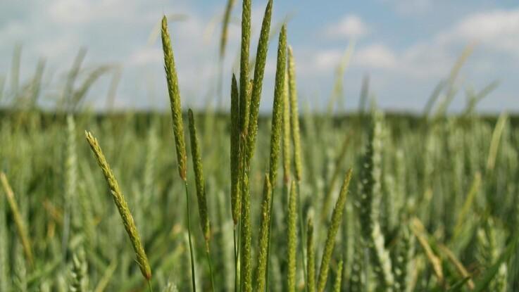 God vårsædseffekt mod resistent græsukrudt