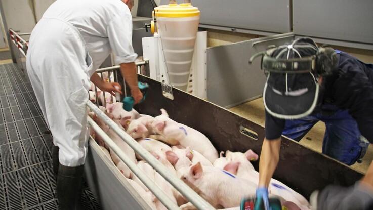 Smertestillende behandling hos grise