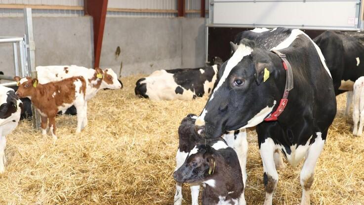 100 kalve har været gennem velfærdsstalden