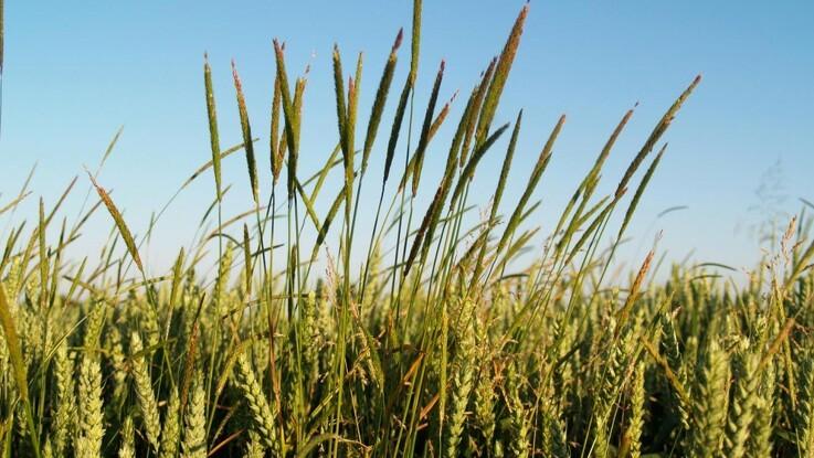 Målret strategien mod resistent græsukrudt