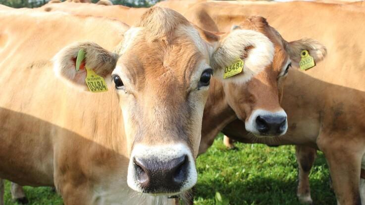 Køerne bliver avlet efter genotype