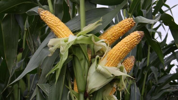 Bakterier hjælper majs til bedre vækst