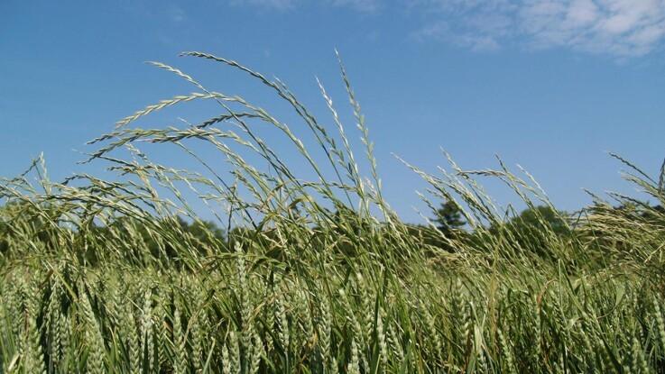 Resistent græsukrudt kræver dygtig driftsledelse