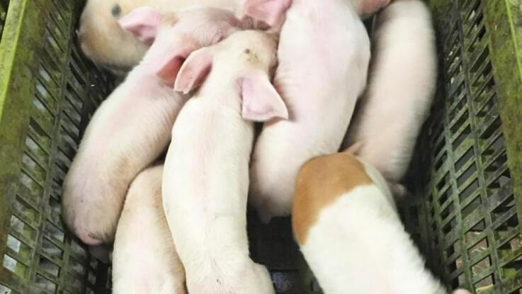 En superso kan passe sine egne grise