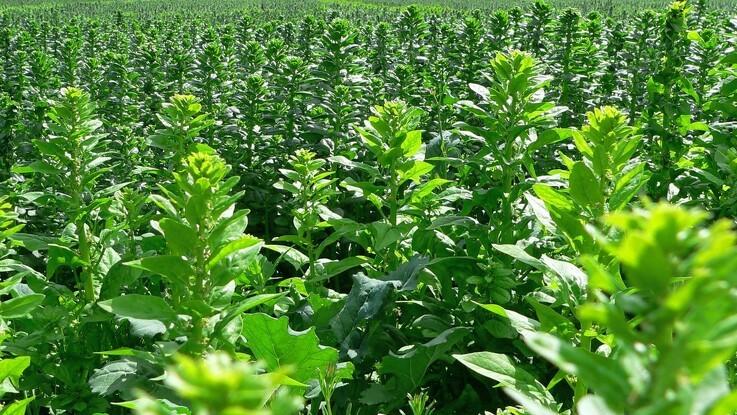 Planteavlskonsulent: Øg udbyttet i marken med en behandlingsslutspurt