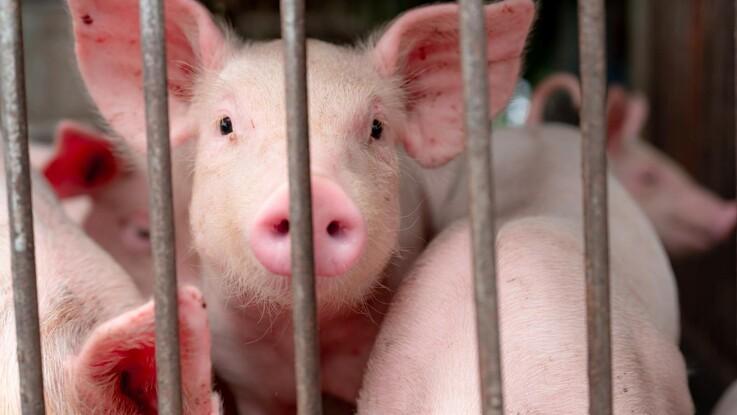 Få tilskud til modernisering af svinestalde