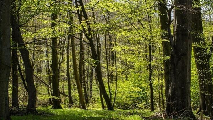 Åbent for EU-støtte til privat skovrejsning