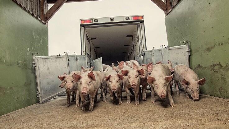 Svineproducenter øger produktionen