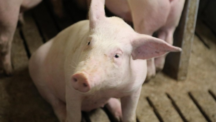 Spritrester giver glade grise og kostelige koteletter