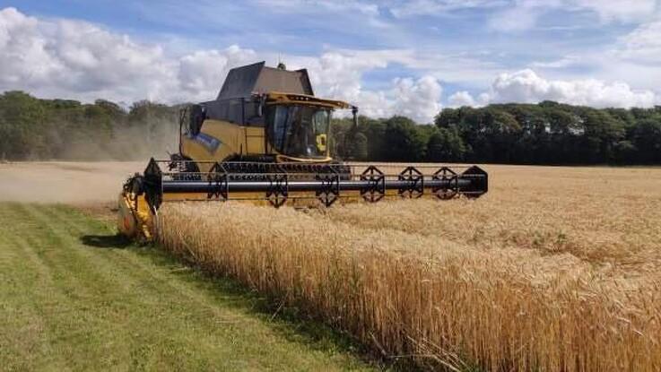 Høst af No-till vårhvede fra efteråret