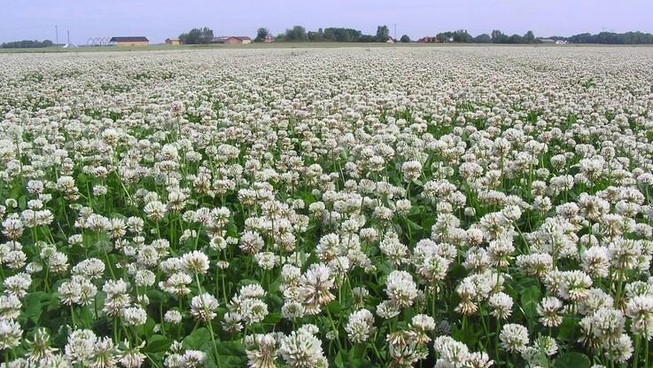 DLF: Så en ny kløvergræsmark i august