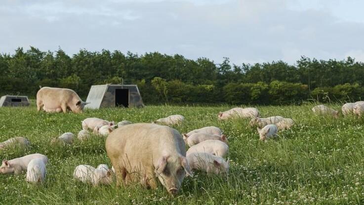 Øko-landmand tilbyder overnatning på grisemarken