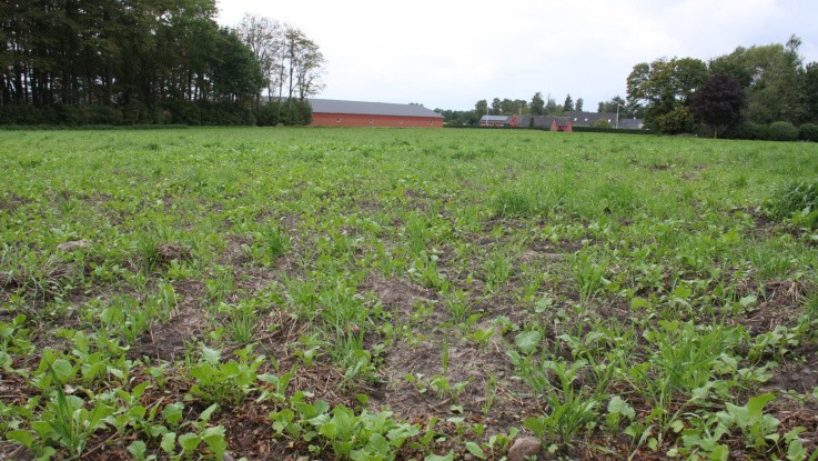 Bæredygtigt Landbrug stævner staten: Vil have efterafgrøder underkendt
