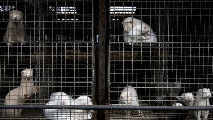 Polen forbyder minkavl