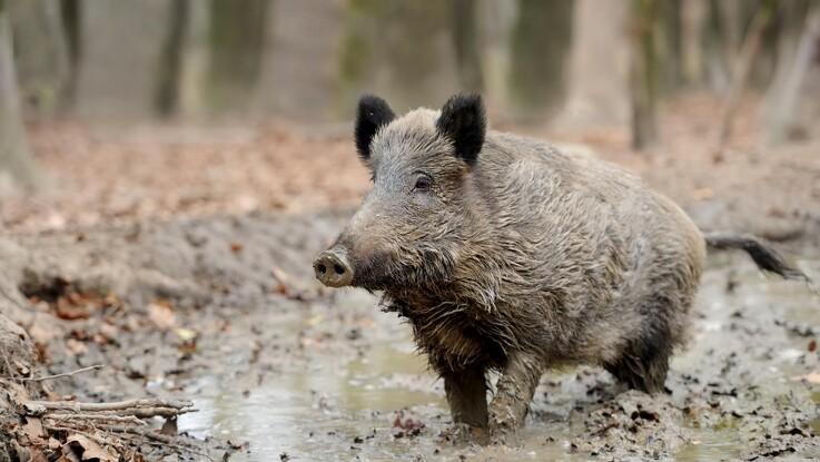 Efter yderligere tilfælde af svinepest: Ramt område indhegnet