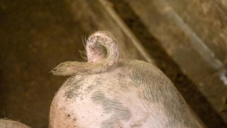Konventionelle grise kan godt have krølle på halen