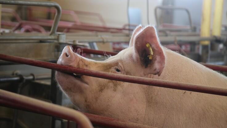 Slagtningen af 160.000 svin bliver udsat til uge 40