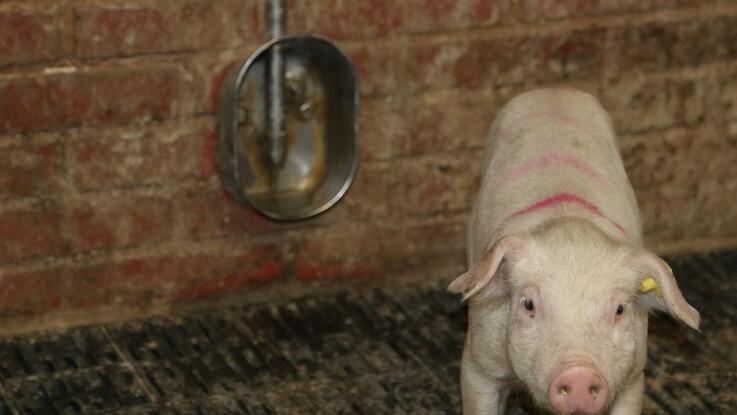 Danske Svineproducenter: Mange risikerer at brænde inde med grise