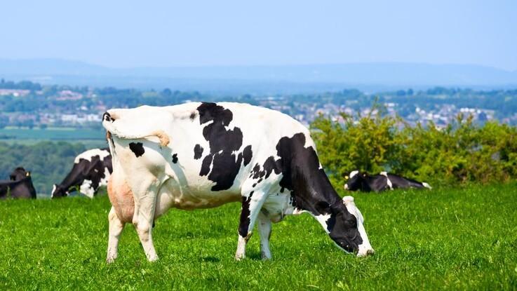 Rådgivere:Hold køerne inde lidt endnu - ellers taber du græsset