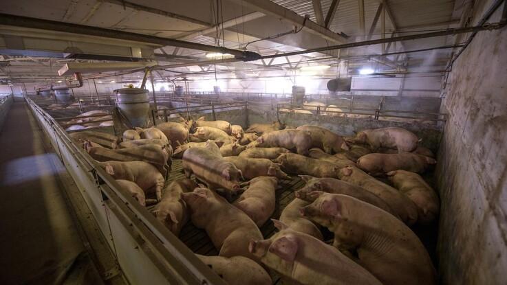 Til trods for svinepest eksportere Rusland store mængder kød