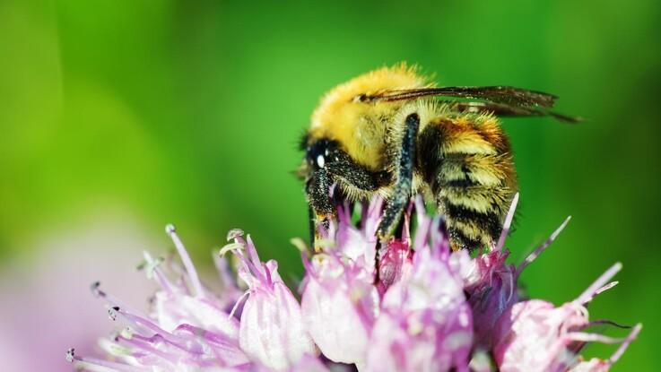 Flere biavleres bier har bestøvet for sidste gang