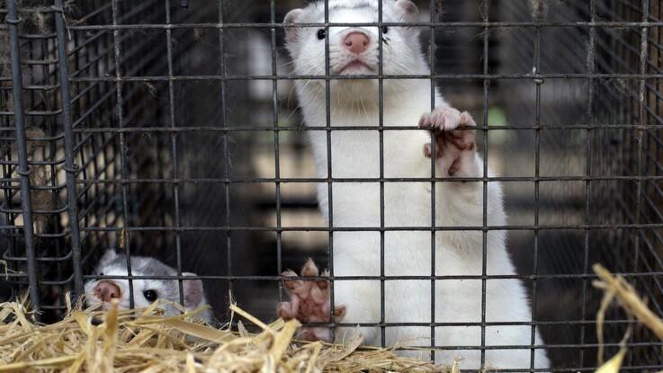 SF ønsker stop for minkproduktion