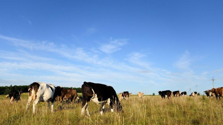Aarhus Universitet:Mere metan fra kvæggylle end hidtil rapporteret