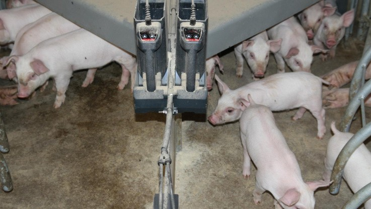 Corona-virus i svin kan måske sprede sig til mennesker