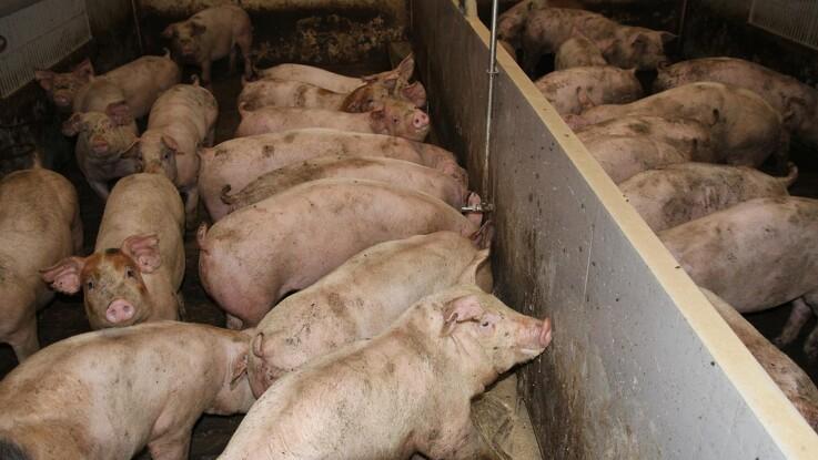 Svineproduktionen bidrager årligt med 22 millarder til BNP