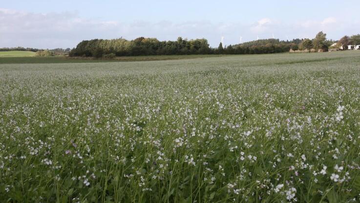 Efterafgrøder: Fra datotyranni til satellitovervågning