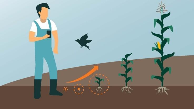 KWS lancerer ny generation bejdse til majs