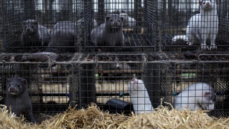 Over en million mink er nu aflivet i Danmark
