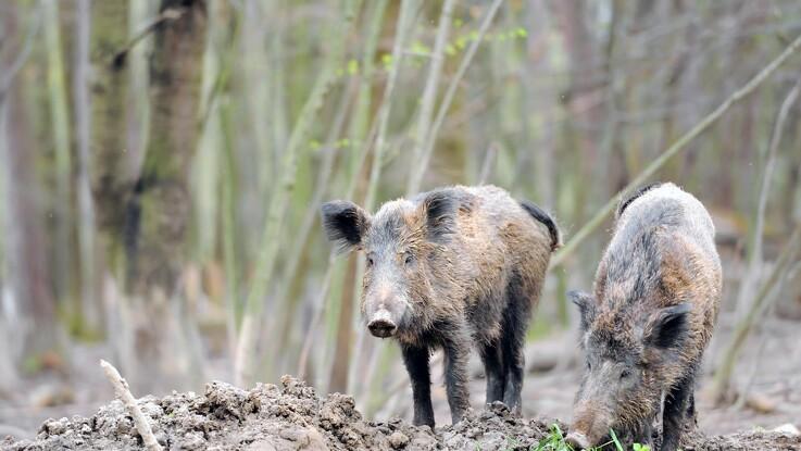 Nyt muligt tilfælde: Afrikansk svinepest nærmer sig Berlin