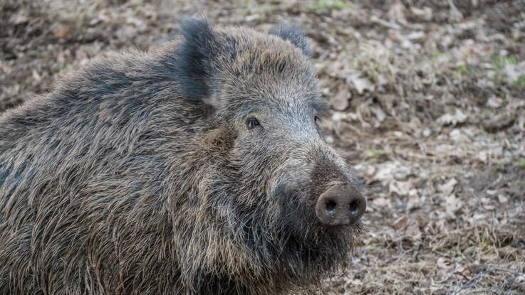 Tyskerne kan ånde lettet op: Dødt vildsvin nær Berlin havde ikke afrikansk svinepest