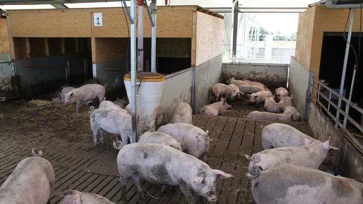 Tysk slagtesvinemarked lider under store udbudspukkel