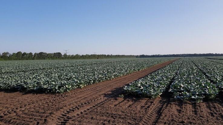 Det danske kålareal er øget med 25 procent