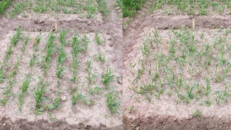 Afgrøder sået i ensartet mønster giver højere udbytte og mindre miljøpåvirkning