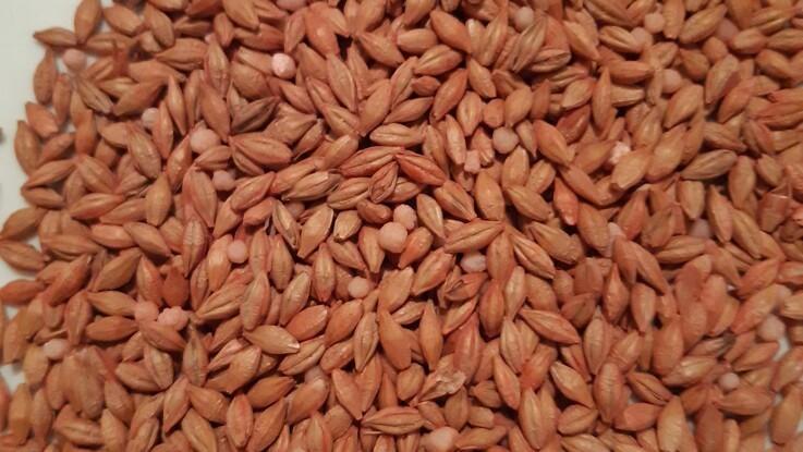 Agri Nord: Placeret gødning i vårbyg øger udbyttet