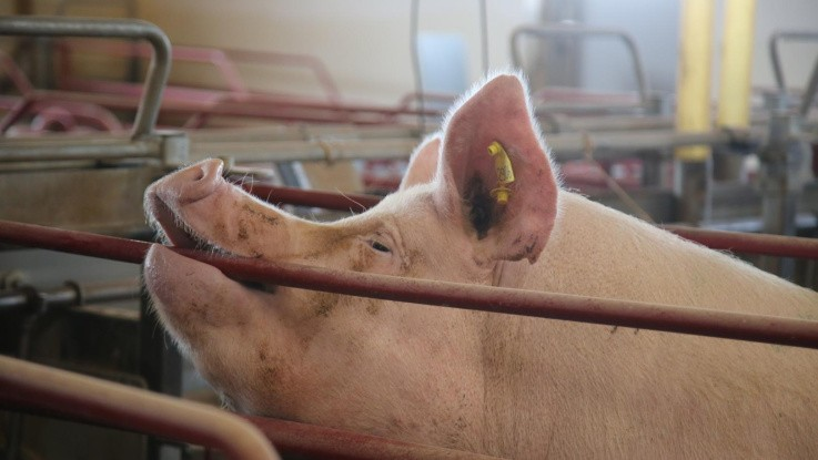 Malaysia har fået sit første tilfælde af afrikansk svinepest