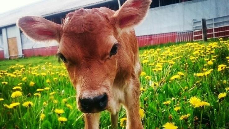 Danish Crown vil have mere dansk kød i køledisken