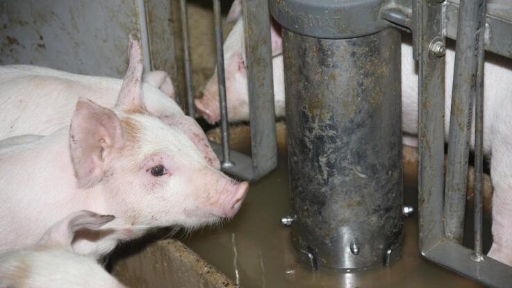 Kontrolkampagne af antibiotika i flokbehandling af smågrise