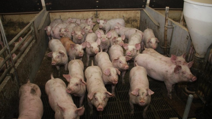 Bæredygtig-2050 vision på vej for dansk svineproduktion