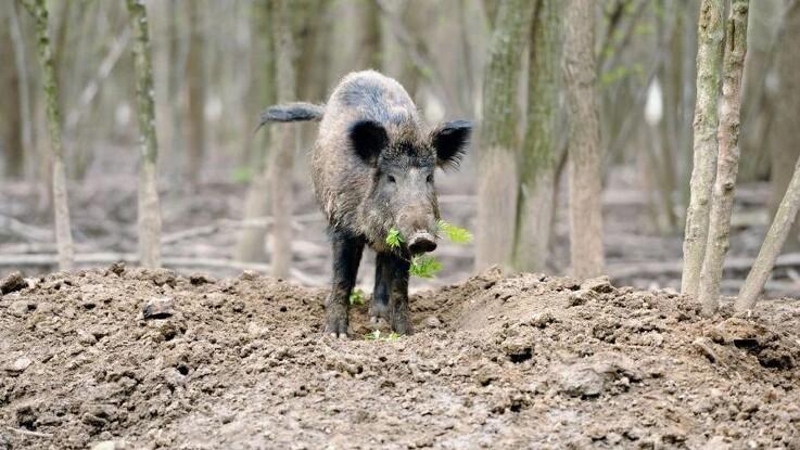 EU vil støtte vildsvinehegn i Tyskland