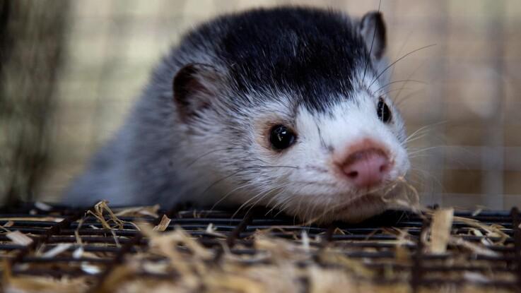 Ny rapport: Danske minkavlere var europamestre i velfærd